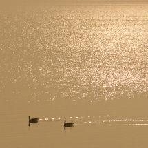 Liquid gold, ganzen op de Gouwzee
