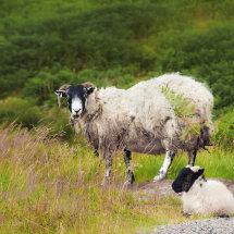 Scotland is sheep along the roadside