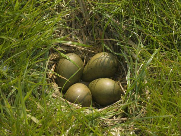 Spring: godwitt's nest