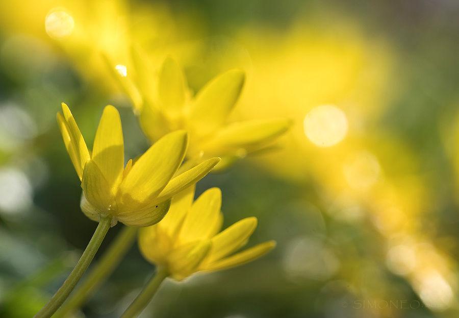Zonovergoten geel