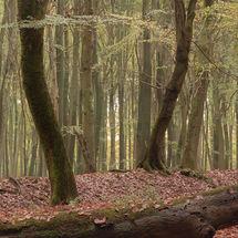 Dansende bomen in het Speulderbos