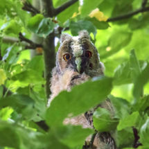 Peek-a-boo. Long-eared owl chick