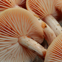 Wrinkld peach mushrooms