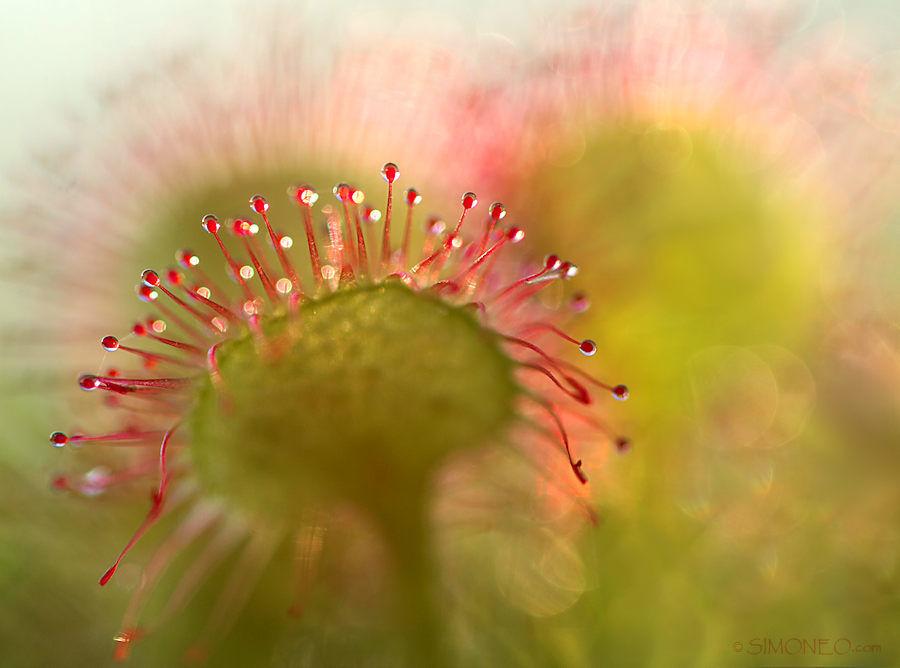 Zonnedauw (drosera rotundifolia)