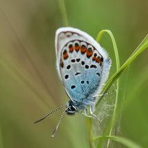 Blue, Silver-studded blue (plebejus argus)