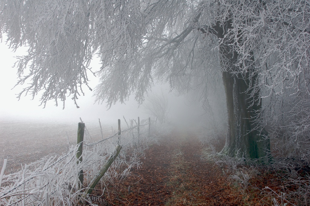 Trees Covered in Hoar Frost