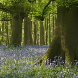 Nore Hill Bluebells