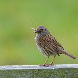 Dunnock With a Crane Fly