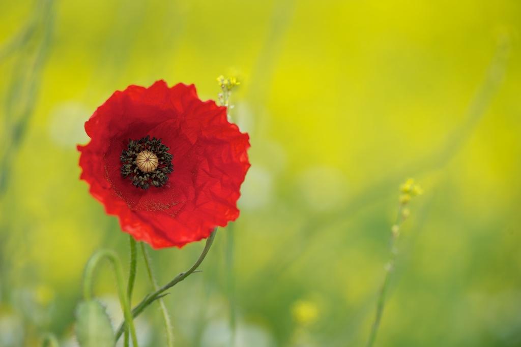 Poppy in a Rape field