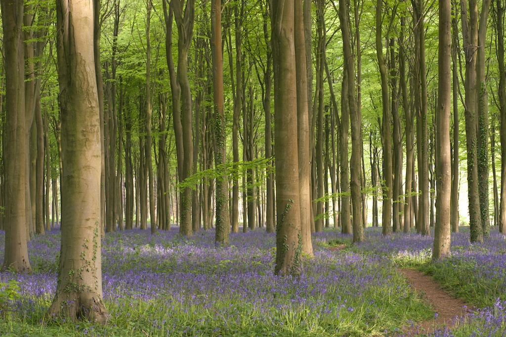 Bluebells at Wepham Wood
