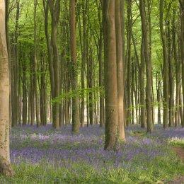 Bluebells at Wepham Wood