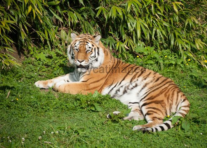 Sunbathing Tiger