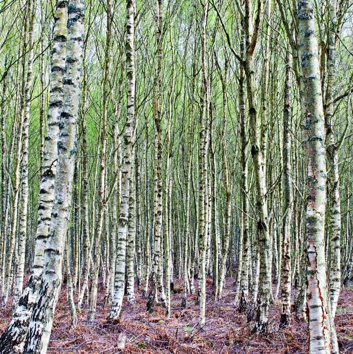Tentsmuir Birch trees