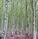 Tentsmuir Birch trees