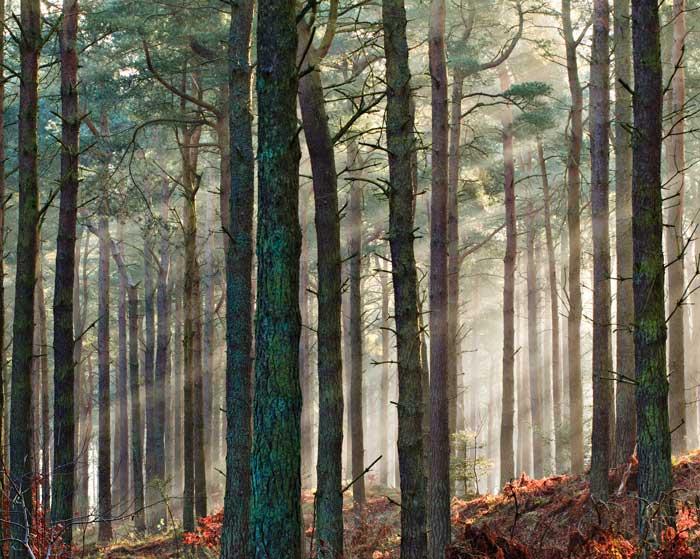 Dawn, Tentsmuir Forest