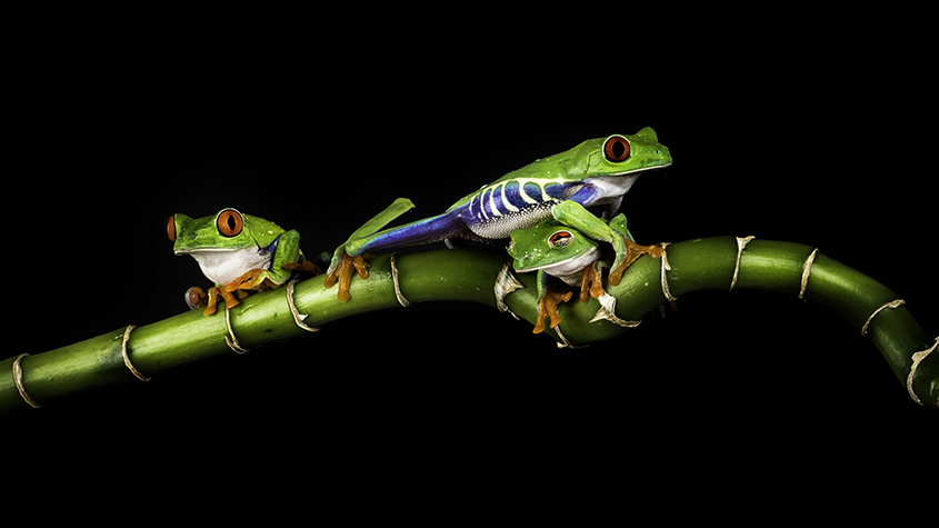 Red Eyed Tree Frog 5