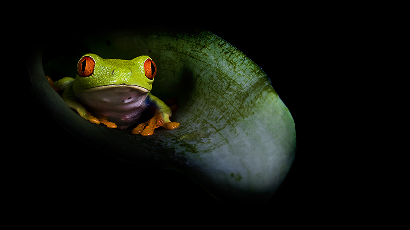 Red Eyed Tree Frog 1