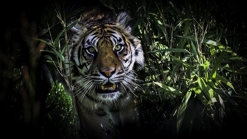 Samutran Tiger 1