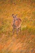 Dalness Red Deer