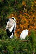Grey Heron and Little Egret