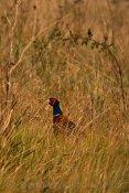 Two-tree Island Pheasant
