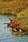 Two-tree Island Widgeon