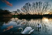 Friars Mute Swans