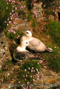 Glen Grenaugh Fulmars