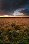 Sunset over crops