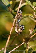 Mating Migrant Hawkers