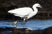 Bajamar Egret