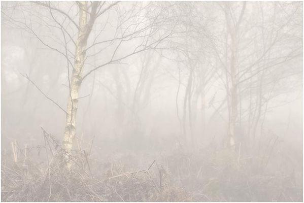 Mist in the Birch Wood