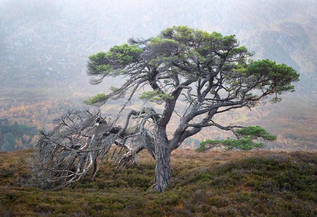 Lone Pine Glen Affric