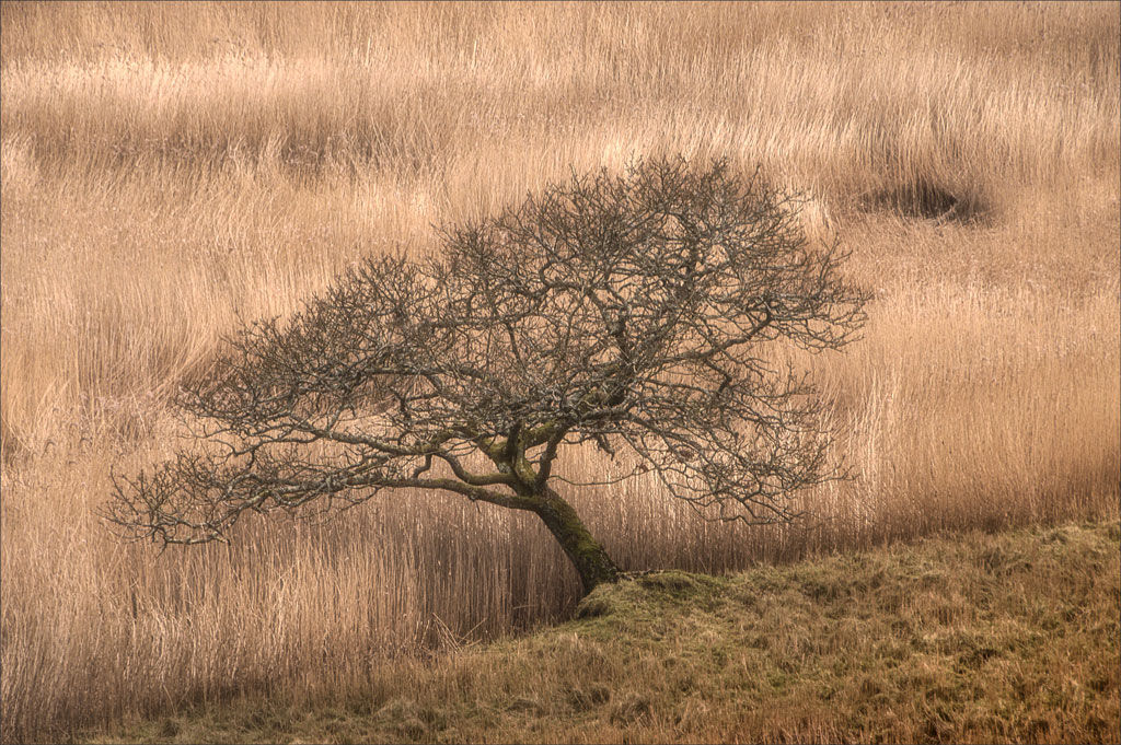 Winter Tree And Reeds