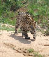 Jaguar on beach