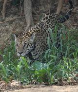 Jaguar in undergrowth