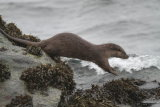 Otter leaping