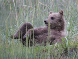 Bear cub in relaxed pose