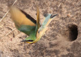 Little bee-eater leaving nest