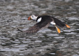 Puffin flying over water