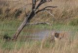 Tiger by pond