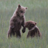 Bear cubs fighting