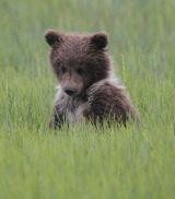 Wet Bear cub