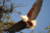 African Fish Eagle #2