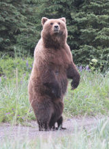 Standing mother bear