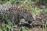 Jaguar stalking