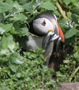 Puffin with sand eels in burrow