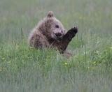 Bear cub preening