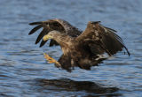 Fishing Sea Eagle Catching