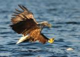 Fishing Sea Eagle #5